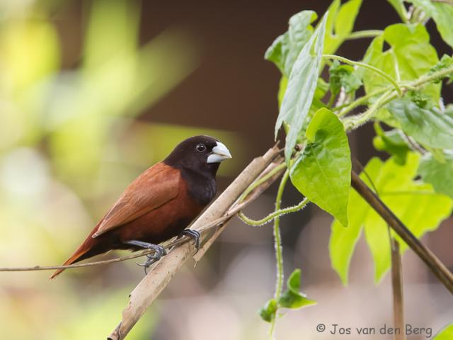 Birds Malaysia